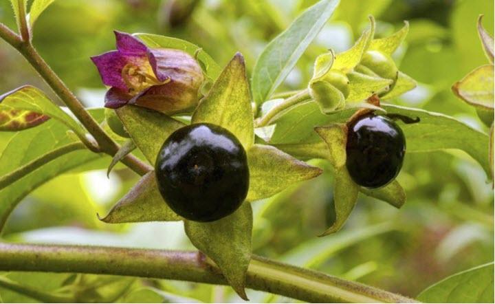 Растение беладонна