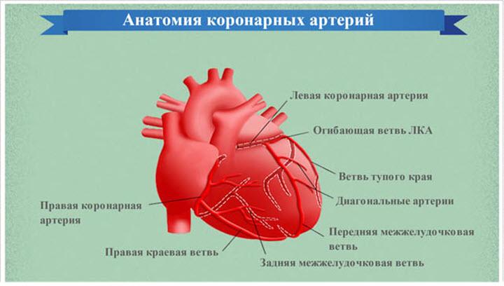 Строение коронарных артерий