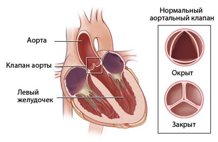 Строение аортального клапана