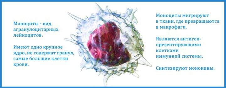 Что такое моноциты
